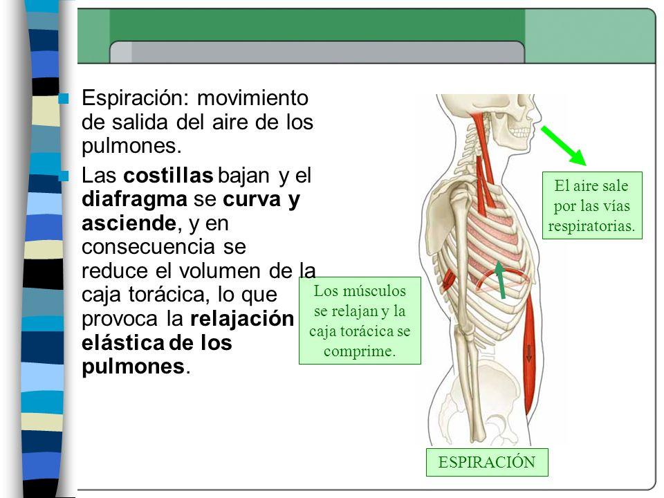 ESPIRACIÓN Los músculos se relajan y la caja torácica se comprime. El aire sale por las vías respiratorias. Espiración: movimiento de salida del aire