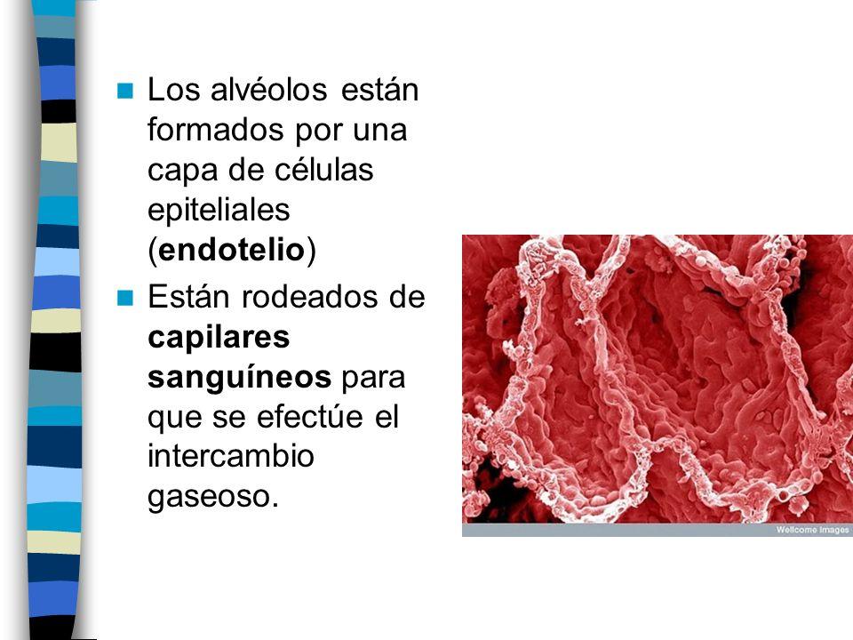Los alvéolos están formados por una capa de células epiteliales (endotelio) Están rodeados de capilares sanguíneos para que se efectúe el intercambio