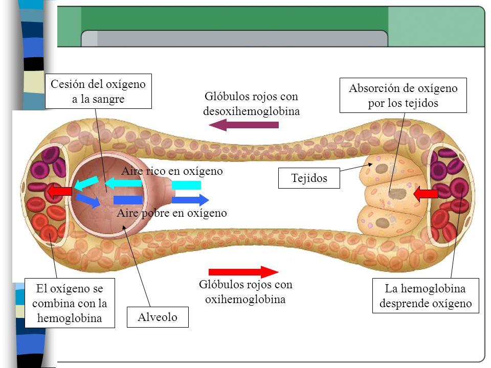 Cesión del oxígeno a la sangre Alveolo Tejidos Glóbulos rojos con desoxihemoglobina Glóbulos rojos con oxihemoglobina Absorción de oxígeno por los tej