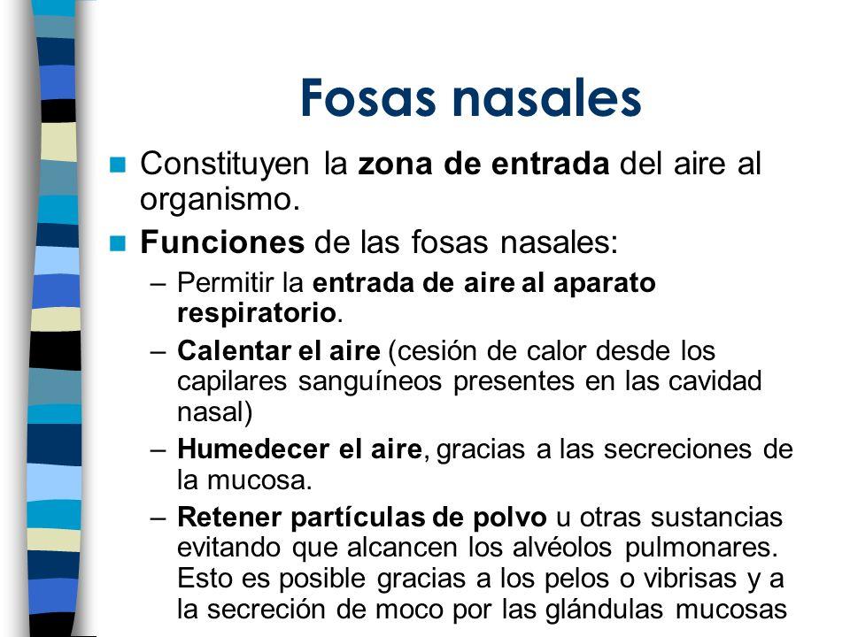 Fosas nasales Constituyen la zona de entrada del aire al organismo. Funciones de las fosas nasales: –Permitir la entrada de aire al aparato respirator