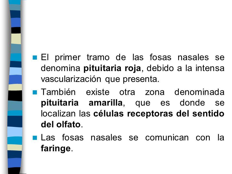 El primer tramo de las fosas nasales se denomina pituitaria roja, debido a la intensa vascularización que presenta. También existe otra zona denominad