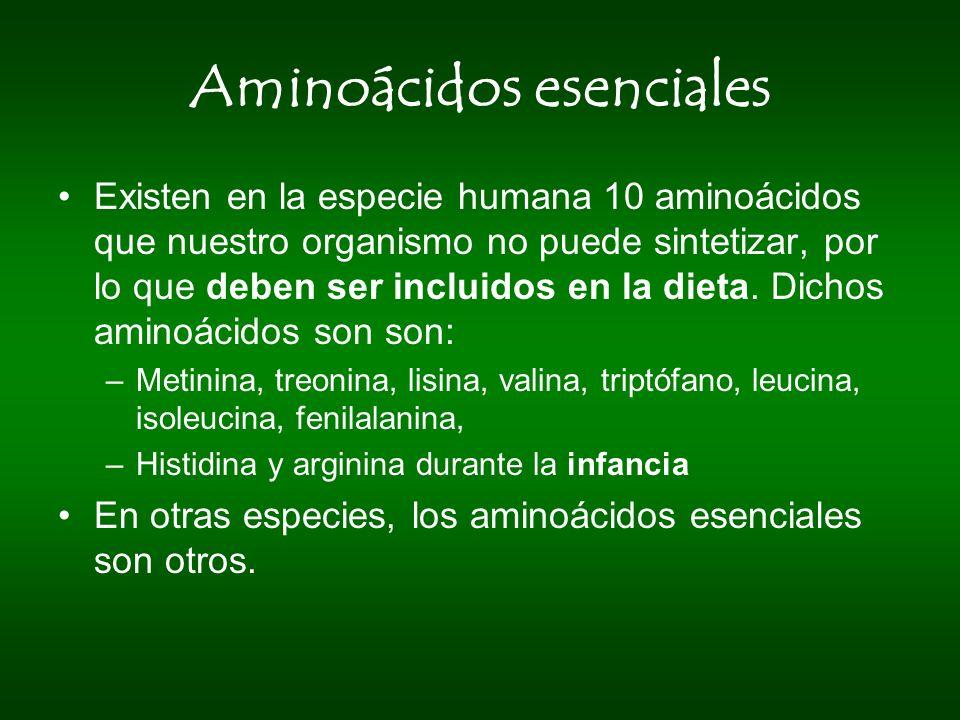 Aminoácidos esenciales Existen en la especie humana 10 aminoácidos que nuestro organismo no puede sintetizar, por lo que deben ser incluidos en la die