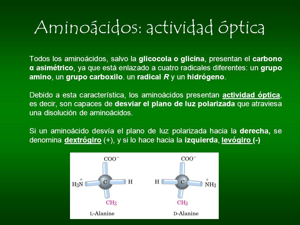 Aminoácidos: actividad óptica Todos los aminoácidos, salvo la glicocola o glicina, presentan el carbono α asimétrico, ya que está enlazado a cuatro ra