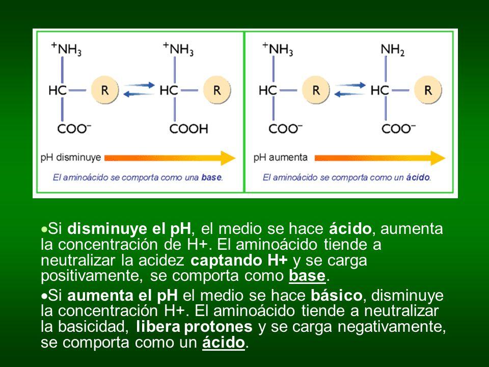 Si disminuye el pH, el medio se hace ácido, aumenta la concentración de H+. El aminoácido tiende a neutralizar la acidez captando H+ y se carga positi