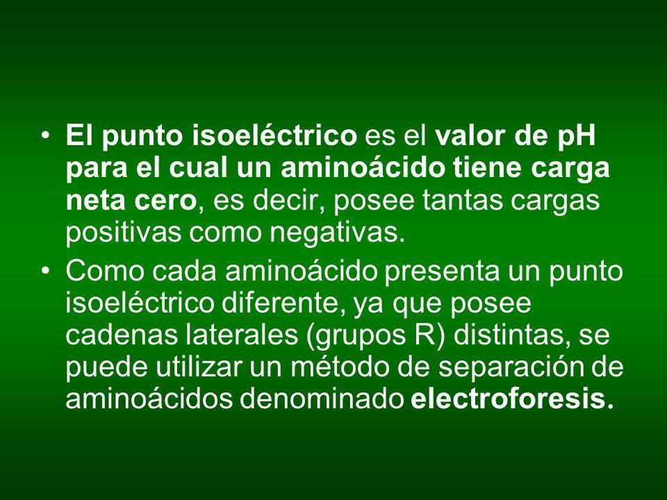 El punto isoeléctrico es el valor de pH para el cual un aminoácido tiene carga neta cero, es decir, posee tantas cargas positivas como negativas. Como