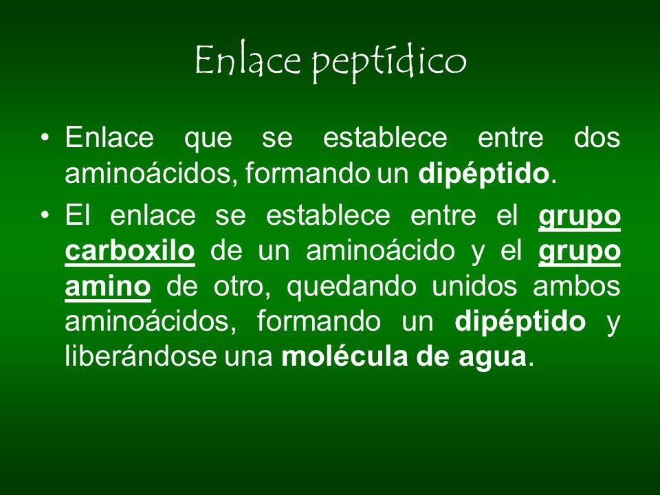 Enlace peptídico Enlace que se establece entre dos aminoácidos, formando un dipéptido. El enlace se establece entre el grupo carboxilo de un aminoácid