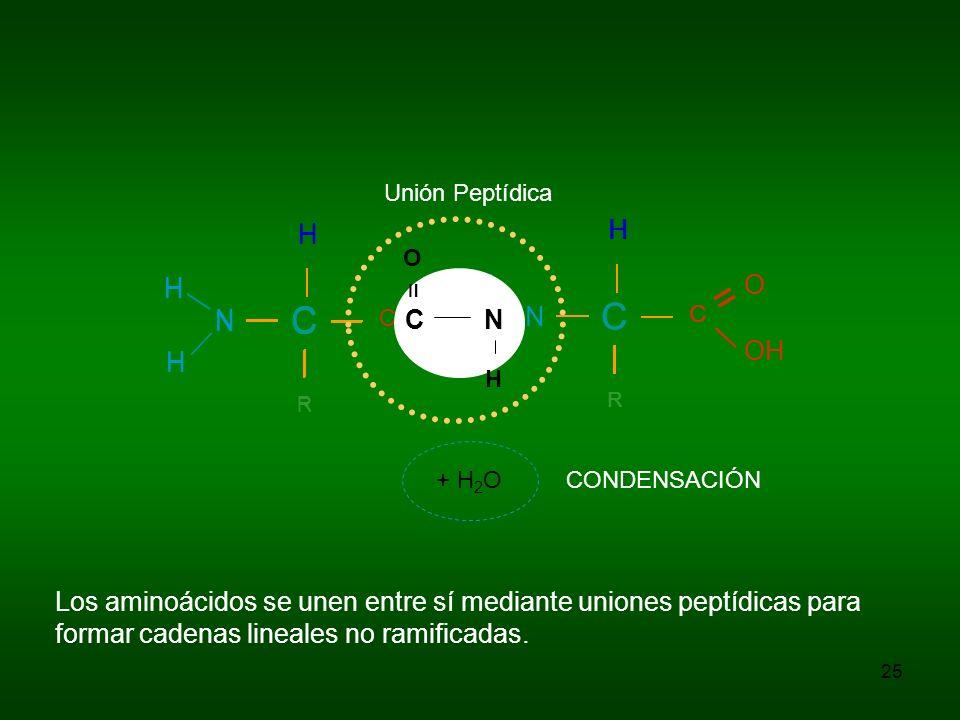 25 Los aminoácidos se unen entre sí mediante uniones peptídicas para formar cadenas lineales no ramificadas. C H R C = O OH N H H C H R C = O N H H C