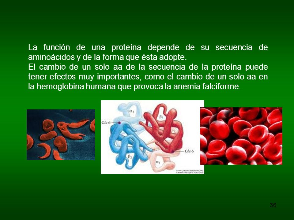 La función de una proteína depende de su secuencia de aminoácidos y de la forma que ésta adopte. El cambio de un solo aa de la secuencia de la proteín