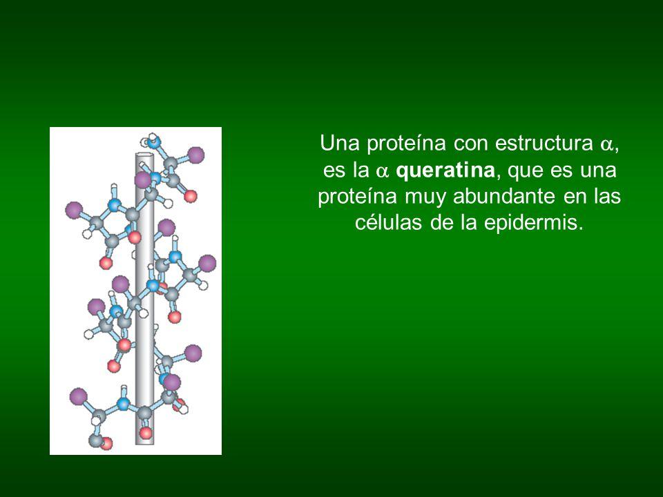 Una proteína con estructura, es la queratina, que es una proteína muy abundante en las células de la epidermis.