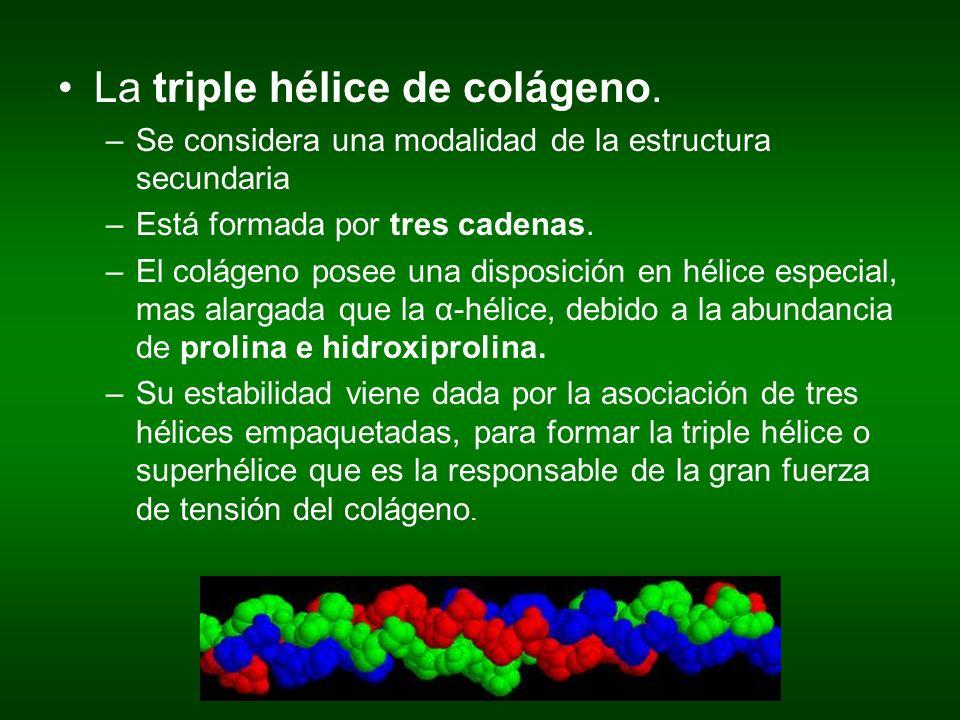 La triple hélice de colágeno. –Se considera una modalidad de la estructura secundaria –Está formada por tres cadenas. –El colágeno posee una disposici