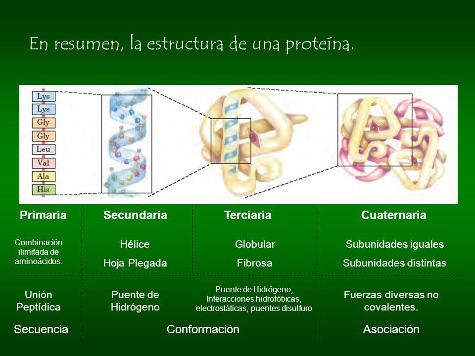 En resumen, la estructura de una proteína. Primaria Secundaria Terciaria Cuaternaria SecuenciaConformaciónAsociación Hélice Hoja Plegada Globular Fibr