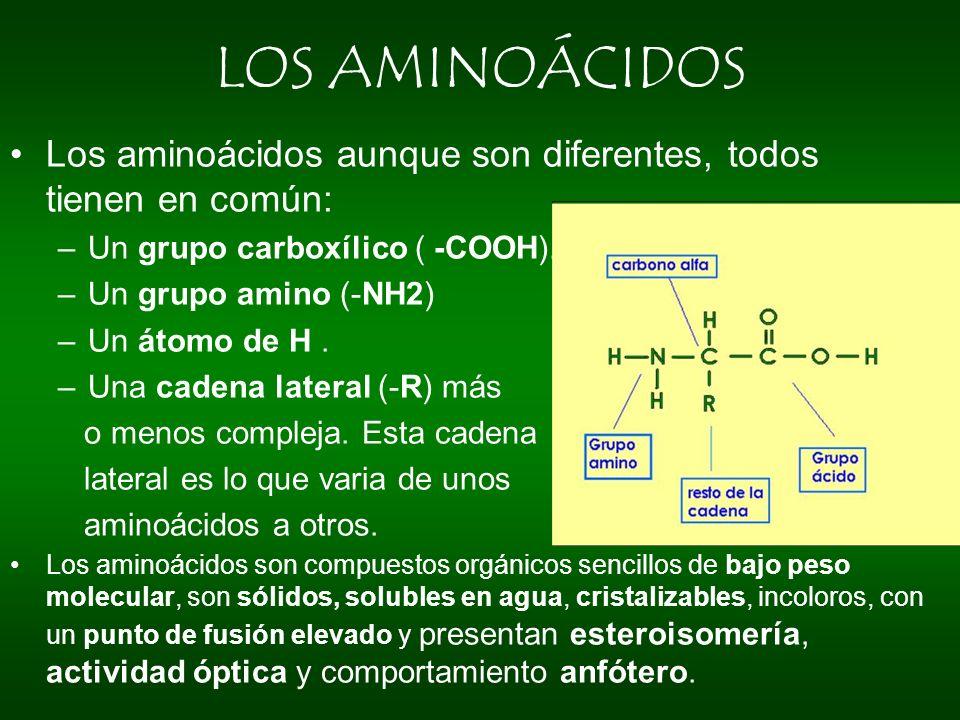 LOS AMINOÁCIDOS Los aminoácidos aunque son diferentes, todos tienen en común: –Un grupo carboxílico ( -COOH). –Un grupo amino (-NH2) –Un átomo de H. –