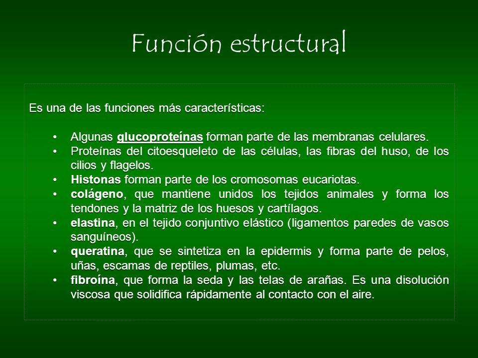 Función estructural Es una de las funciones más características: Algunas glucoproteínas forman parte de las membranas celulares. Proteínas del citoesq