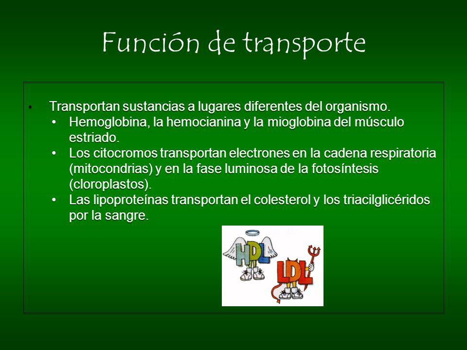 Función de transporte Transportan sustancias a lugares diferentes del organismo. Hemoglobina, la hemocianina y la mioglobina del músculo estriado. Los