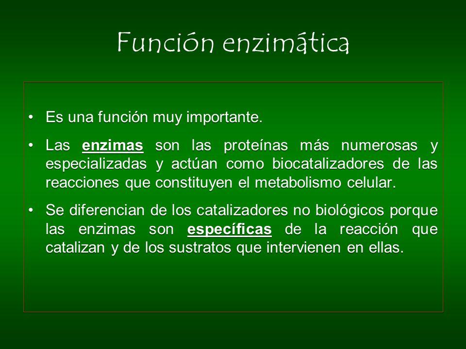 Función enzimática Es una función muy importante. Las enzimas son las proteínas más numerosas y especializadas y actúan como biocatalizadores de las r