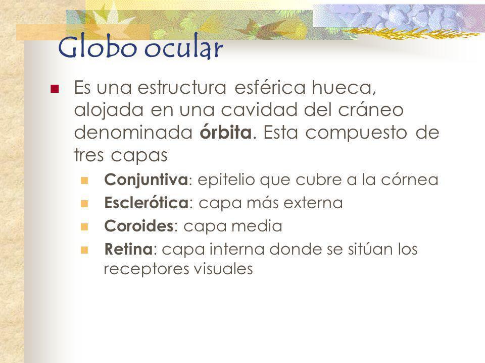 Globo ocular Es una estructura esférica hueca, alojada en una cavidad del cráneo denominada órbita. Esta compuesto de tres capas Conjuntiva : epitelio