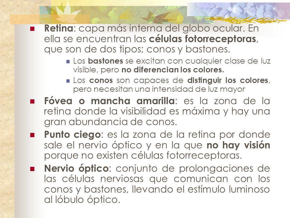 Retina : capa más interna del globo ocular. En ella se encuentran las células fotorreceptoras, que son de dos tipos; conos y bastones. Los bastones se
