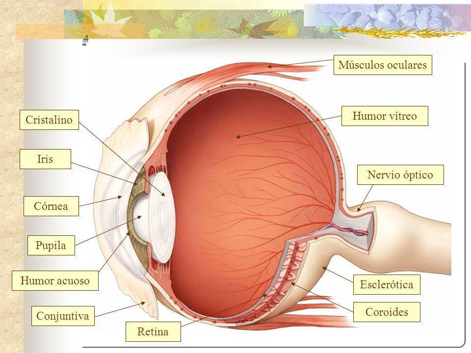 4 Nervio óptico Coroides Retina Iris Humor acuoso Humor vítreo Músculos oculares Esclerótica Cristalino Pupila Córnea Conjuntiva
