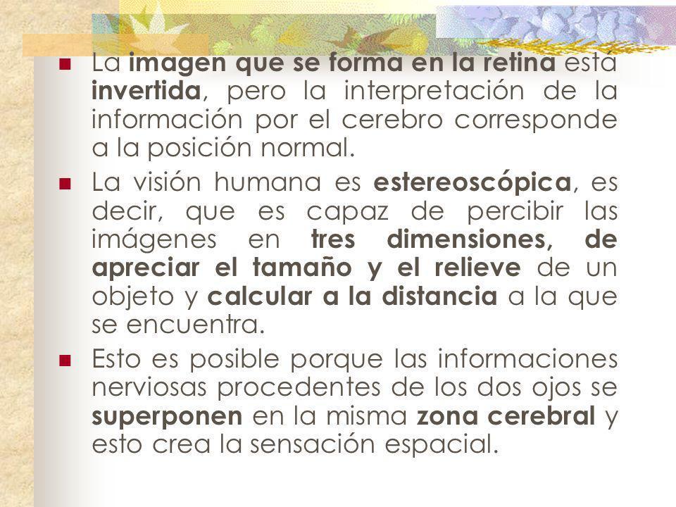 La imagen que se forma en la retina está invertida, pero la interpretación de la información por el cerebro corresponde a la posición normal. La visió