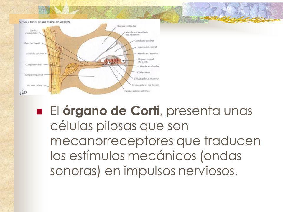 El órgano de Corti, presenta unas células pilosas que son mecanorreceptores que traducen los estímulos mecánicos (ondas sonoras) en impulsos nerviosos