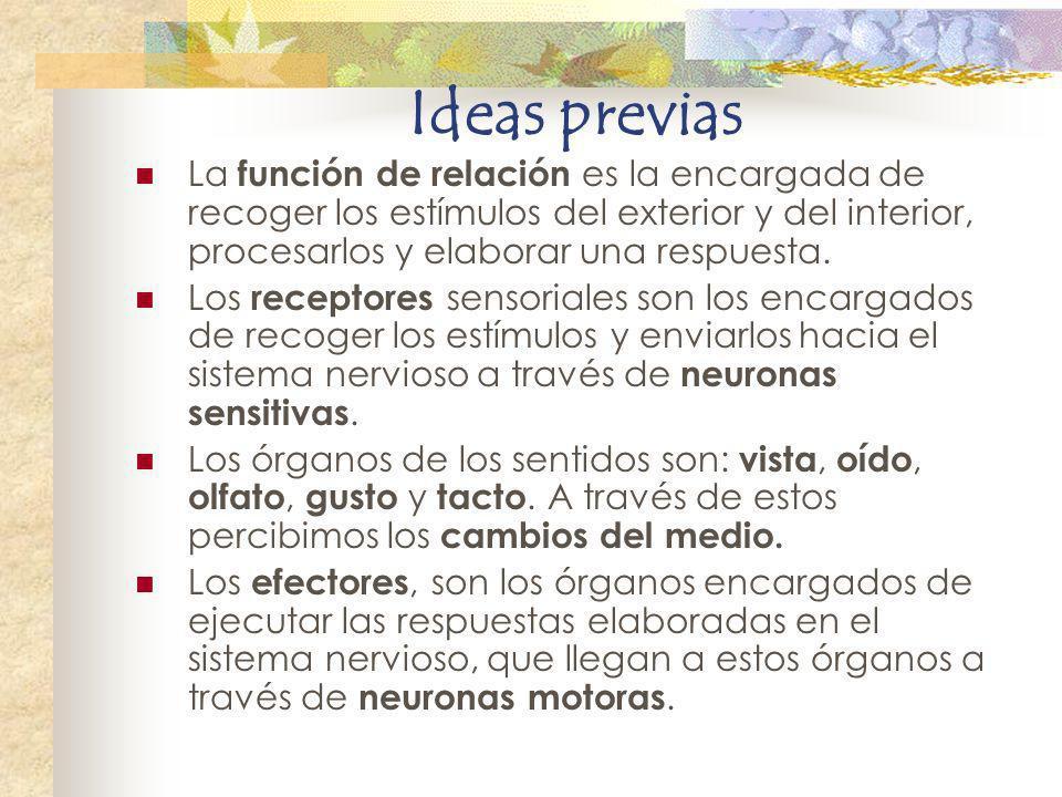 Ideas previas La función de relación es la encargada de recoger los estímulos del exterior y del interior, procesarlos y elaborar una respuesta. Los r