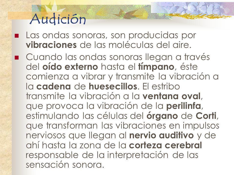 Audición Las ondas sonoras, son producidas por vibraciones de las moléculas del aire. Cuando las ondas sonoras llegan a través del oído externo hasta