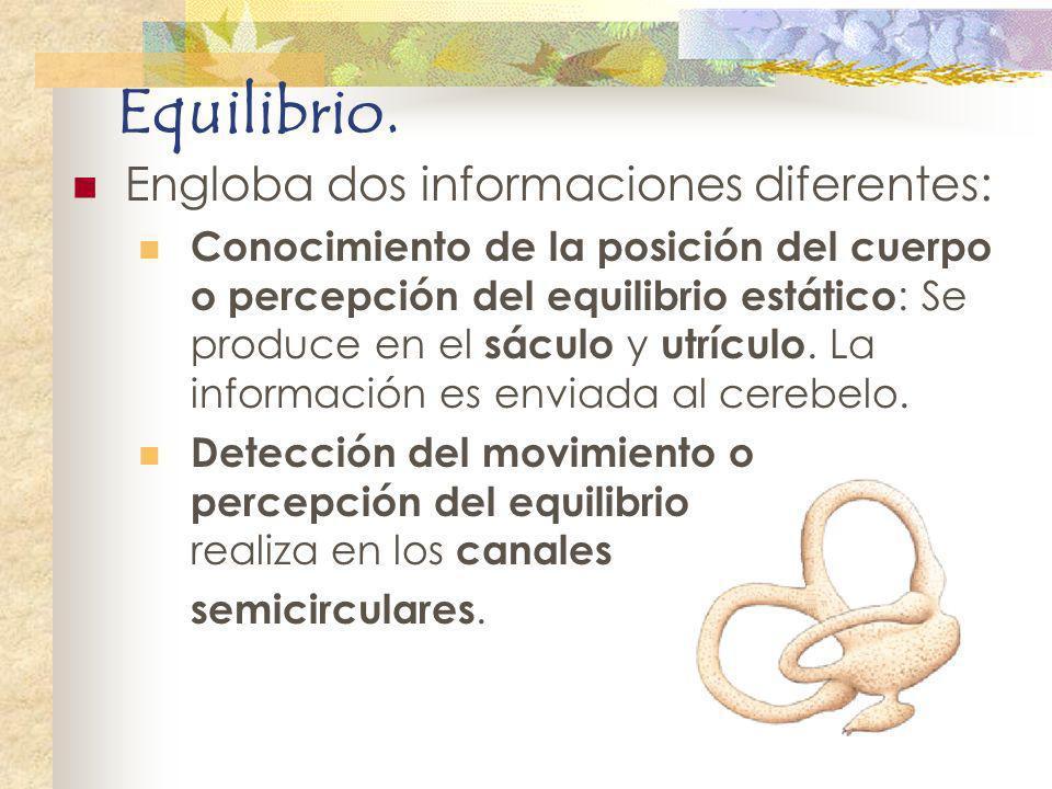 Equilibrio. Engloba dos informaciones diferentes: Conocimiento de la posición del cuerpo o percepción del equilibrio estático : Se produce en el sácul