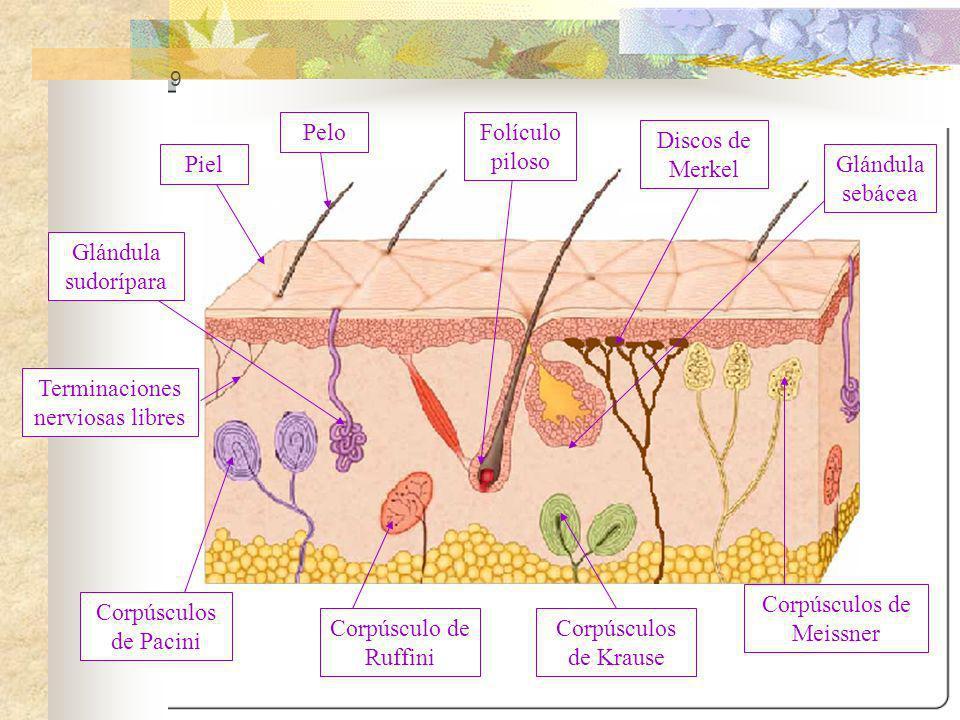 9 Piel Pelo Terminaciones nerviosas libres Folículo piloso Glándula sebácea Corpúsculos de Meissner Corpúsculo de Ruffini Corpúsculos de Pacini Corpús