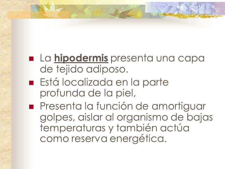 La hipodermis presenta una capa de tejido adiposo. Está localizada en la parte profunda de la piel, Presenta la función de amortiguar golpes, aislar a