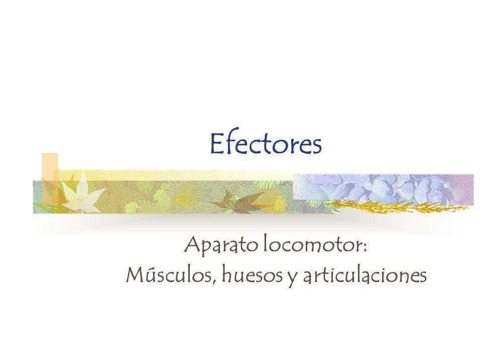 Efectores Aparato locomotor: Músculos, huesos y articulaciones