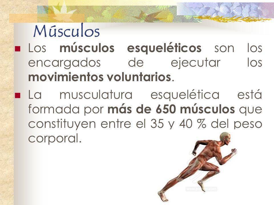 Músculos Los músculos esqueléticos son los encargados de ejecutar los movimientos voluntarios. La musculatura esquelética está formada por más de 650