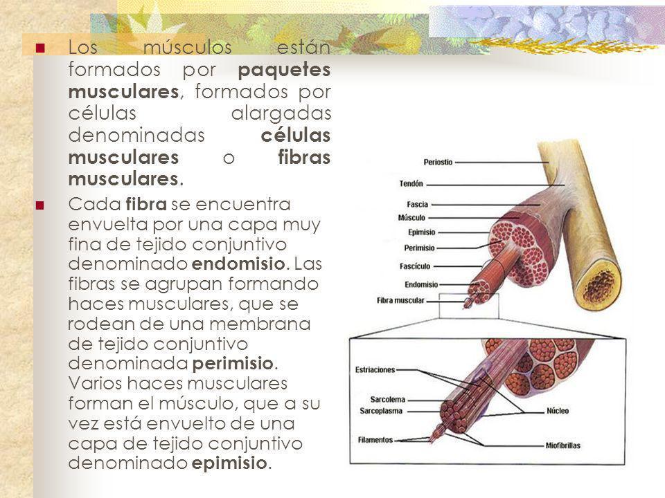 Los músculos están formados por paquetes musculares, formados por células alargadas denominadas células musculares o fibras musculares. Cada fibra se