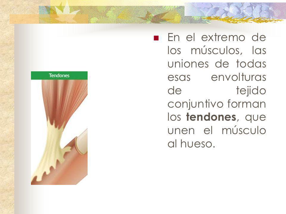 En el extremo de los músculos, las uniones de todas esas envolturas de tejido conjuntivo forman los tendones, que unen el músculo al hueso.