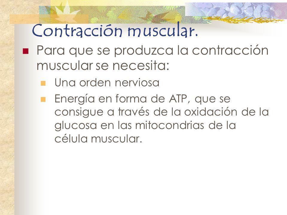Contracción muscular. Para que se produzca la contracción muscular se necesita: Una orden nerviosa Energía en forma de ATP, que se consigue a través d