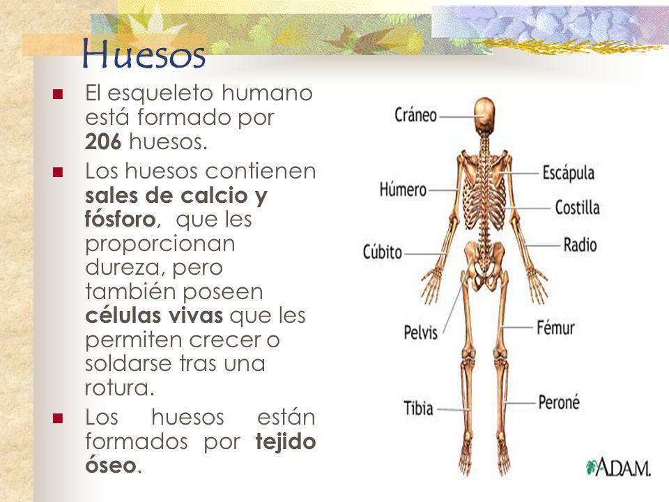 Huesos El esqueleto humano está formado por 206 huesos. Los huesos contienen sales de calcio y fósforo, que les proporcionan dureza, pero también pose