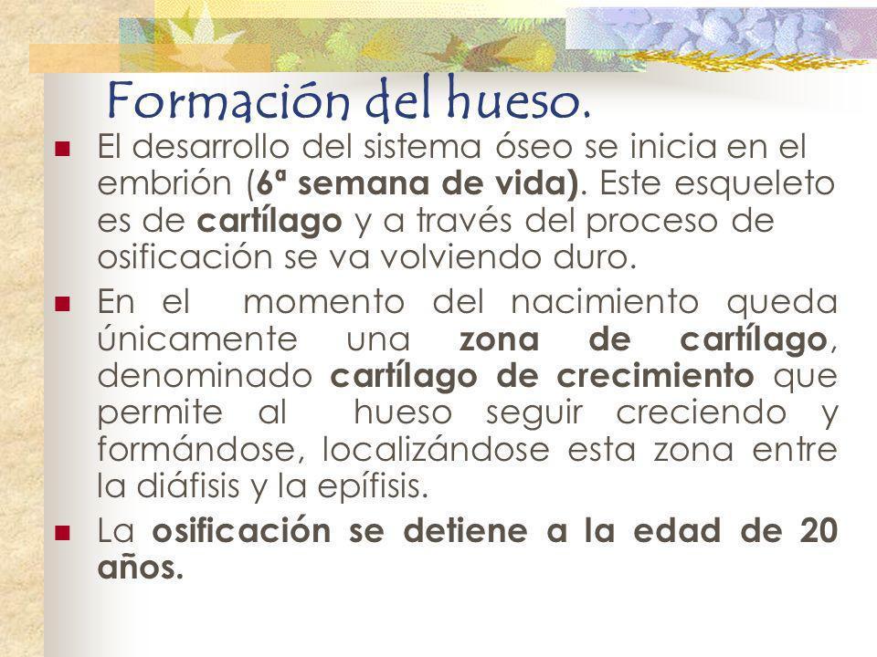 Formación del hueso. El desarrollo del sistema óseo se inicia en el embrión ( 6ª semana de vida). Este esqueleto es de cartílago y a través del proces