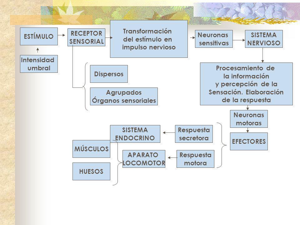 ESTÍMULO Intensidad umbral RECEPTOR SENSORIAL Transformación del estímulo en impulso nervioso Neuronas sensitivas SISTEMA NERVIOSO Procesamiento de la