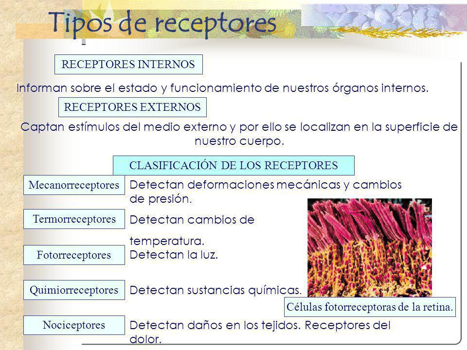 RECEPTORES INTERNOS RECEPTORES EXTERNOS Informan sobre el estado y funcionamiento de nuestros órganos internos. Captan estímulos del medio externo y p