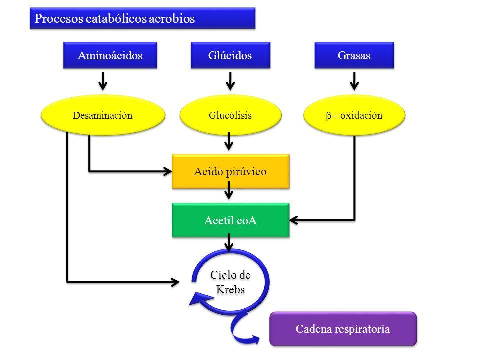 Aminoácidos Acido pirúvico Grasas Glúcidos Desaminación oxidación Glucólisis Acetil coA Ciclo de Krebs Cadena respiratoria Procesos catabólicos aerobi