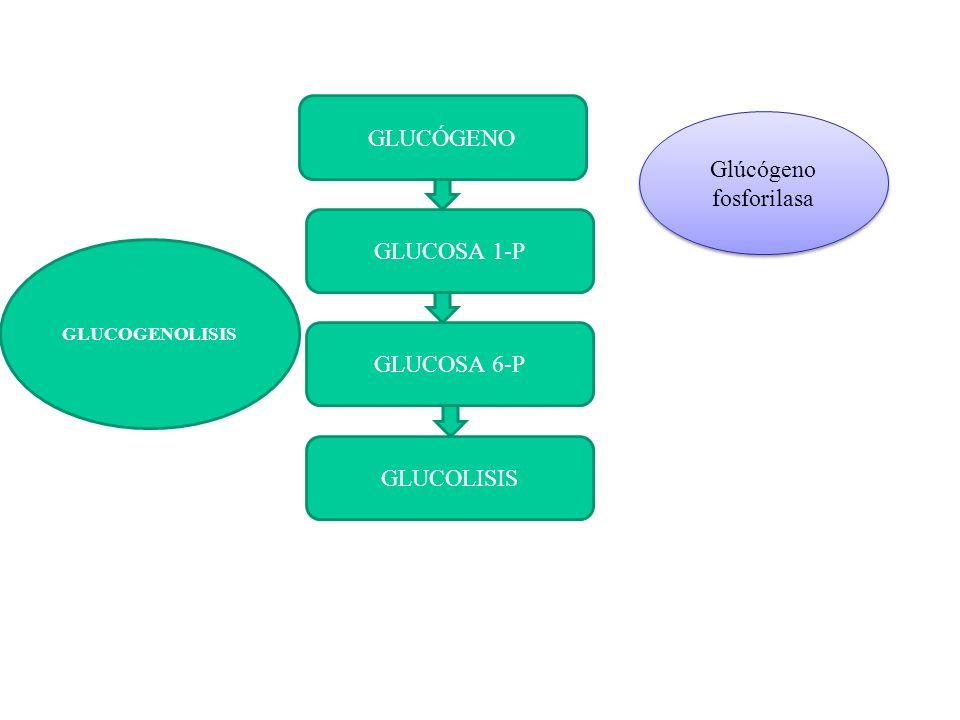 GLUCÓGENO GLUCOSA 1-P GLUCOSA 6-P GLUCOLISIS GLUCOGENOLISIS Glúcógeno fosforilasa