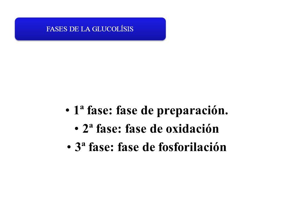 1ª fase: fase de preparación. 2ª fase: fase de oxidación 3ª fase: fase de fosforilación FASES DE LA GLUCOLÍSIS