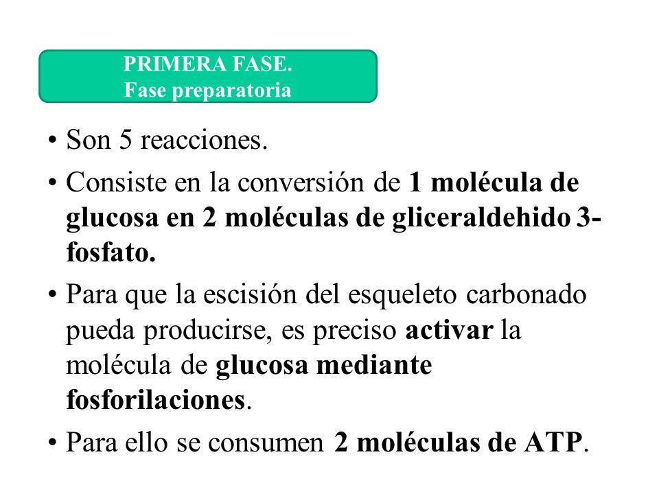 Son 5 reacciones. Consiste en la conversión de 1 molécula de glucosa en 2 moléculas de gliceraldehido 3- fosfato. Para que la escisión del esqueleto c