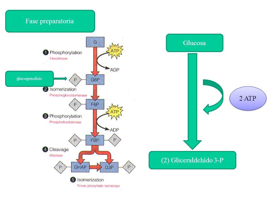 Glucosa (2) Gliceraldehído 3-P 2 ATP glucogenolisis