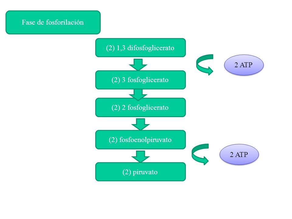 (2) 1,3 difosfoglicerato (2) 3 fosfoglicerato (2) 2 fosfoglicerato (2) fosfoenolpiruvato (2) piruvato 2 ATP