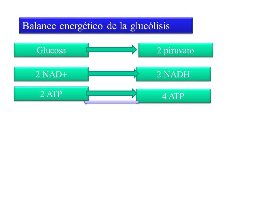 Glucosa Balance energético de la glucólisis 2 piruvato 2 NAD+ 2 NADH 2 ATP 4 ATP