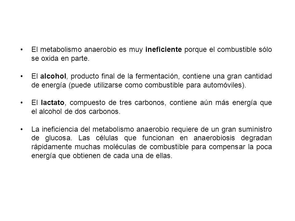 El metabolismo anaerobio es muy ineficiente porque el combustible sólo se oxida en parte. El alcohol, producto final de la fermentación, contiene una