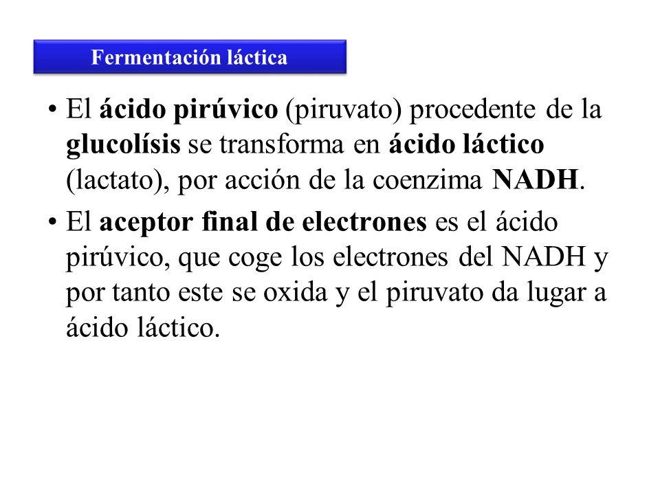 El ácido pirúvico (piruvato) procedente de la glucolísis se transforma en ácido láctico (lactato), por acción de la coenzima NADH. El aceptor final de