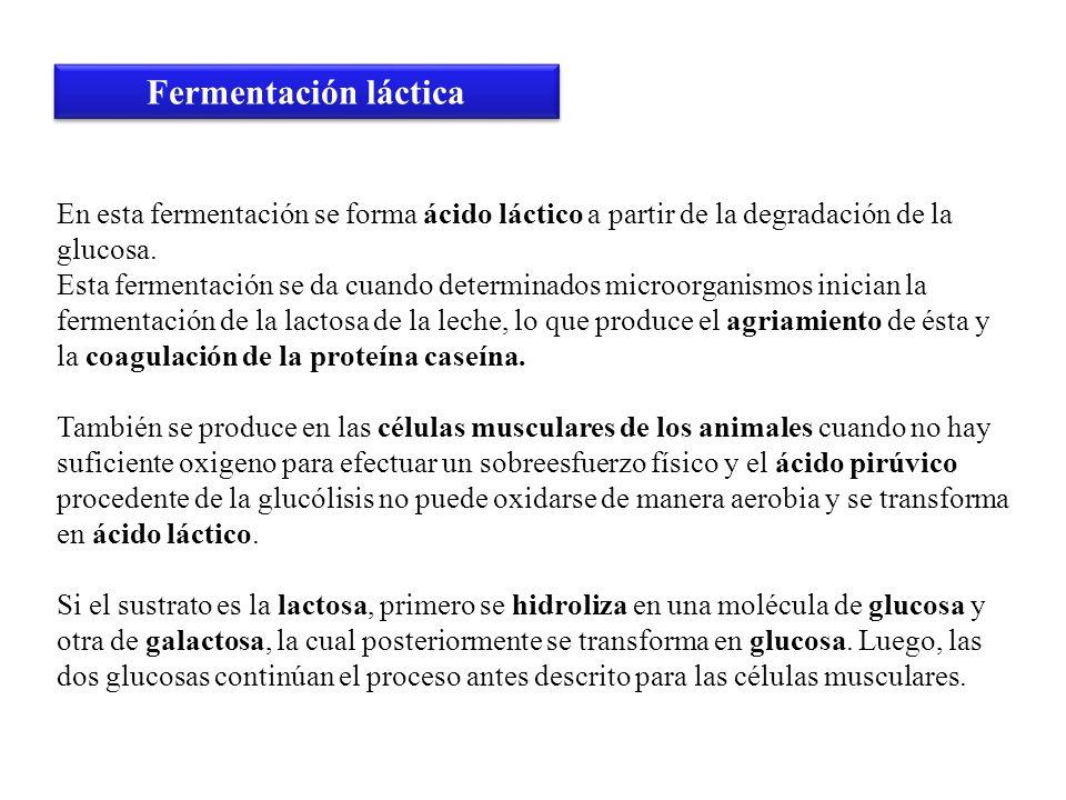 En esta fermentación se forma ácido láctico a partir de la degradación de la glucosa. Esta fermentación se da cuando determinados microorganismos inic