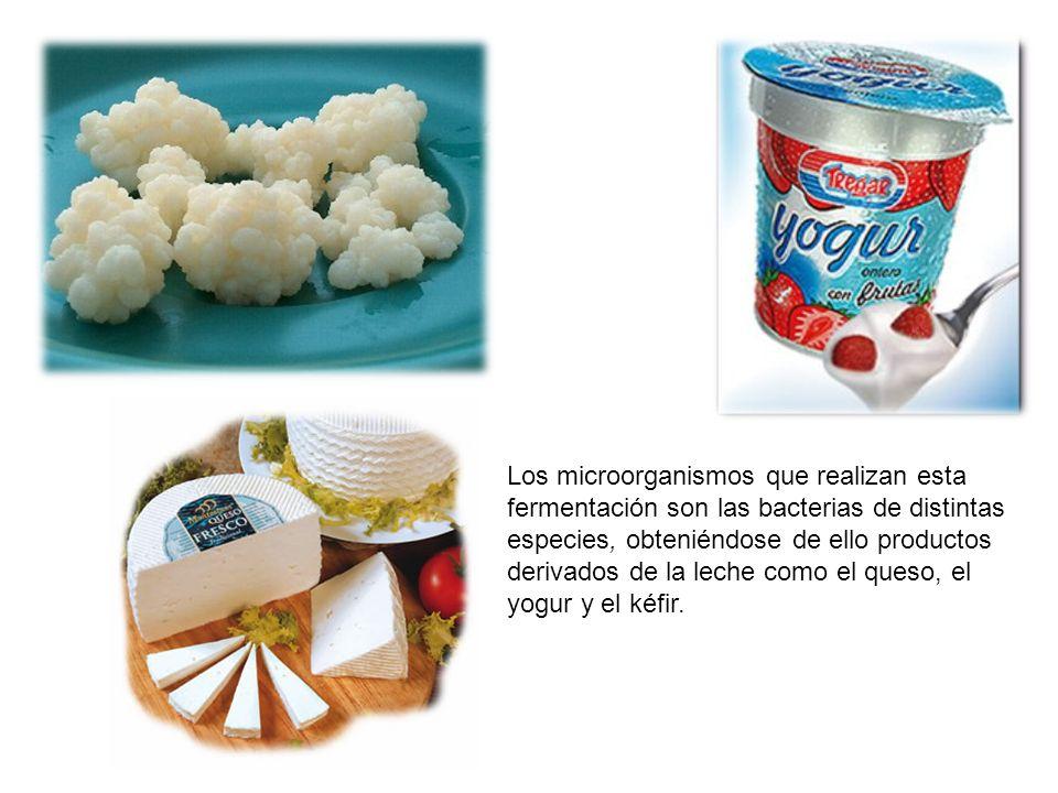 Los microorganismos que realizan esta fermentación son las bacterias de distintas especies, obteniéndose de ello productos derivados de la leche como