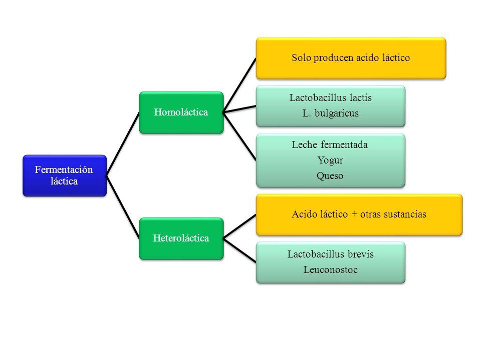 HomolácticaSolo producen acido láctico Lactobacillus lactis L. bulgaricus Leche fermentada Yogur Queso HeterolácticaAcido láctico + otras sustancias L